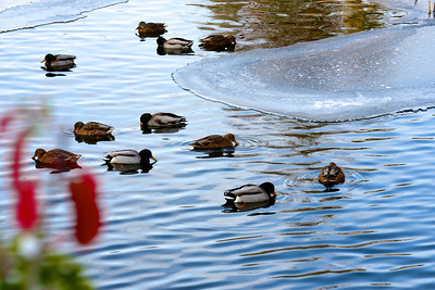 Ducks in the pond in cold water