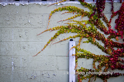 "11.14.11 = Urban weeds  What's up with my fascination of weeds?  I was driving by and saw this extraordinary vine growing across this urban  retaining wall and had to turn around to photograph it.  I was amazed by the variation and vibrant color.  I thought it was just stunning.  There I was standing in an empty gravel lot photographing a wall of weeds.  People driving by must have thought I was crazy.  Heck, maybe I am a little, but I don't mind.   ""Weeds are just plants in the wrong place at the wrong time.""  Kristan Dunlap"