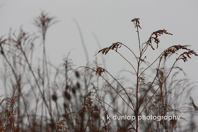 01.10.09 = Today was one of those strange foggy winter days. I grabbed the camera and Gracie and went for a nature walk.  I loved the contrast between the weeds and the gray foggy background.