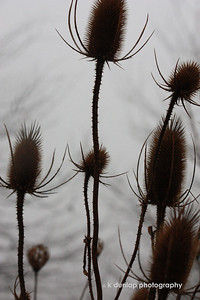 01.10.09 = Today was one of those strange foggy winter days. I grabbed the camera and Gracie and went for a nature walk.  I loved the contrast between the weeds and the gray foggy background