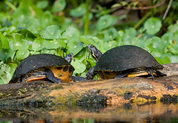 A pair of turtles