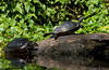 Turtles abandoning the log