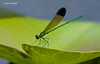 River Jewelwing damselfly