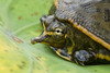 Baby soft-shelled turtle.  Only about the size of a silver dollar