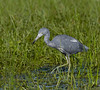 Juvenile litte blue heron.  Almost full adult plumage.