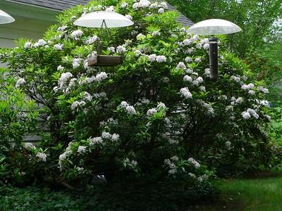 Mountain Laurel in full bloom