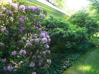 Backyard plantings:  Rhododendrons (foreground), Andromeda (next, already past), Mountain Laurel (background, just opening)