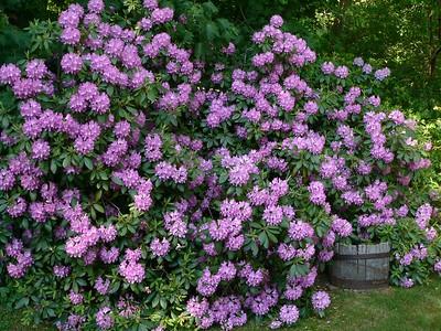 Rhodies in full bloom