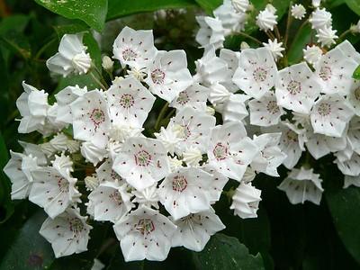 Mountain Laurel clusters
