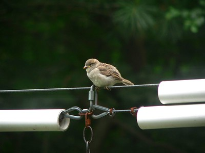 """Fledgling sparrow, """"Where's my lunch?!"""""""
