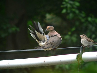 """Mourning dove, """"I know I put it in there somewhere"""""""