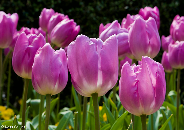 Wellington Tulip Gardens 2006