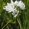 Triteleia hyacinthina (Fool's onion).