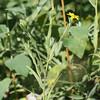 Madia gracilis (Common tarweed).