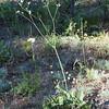 Eriogonum elatum (Tall buckwheat).
