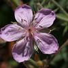 Geranium viscosissimum (Sticky geranium).