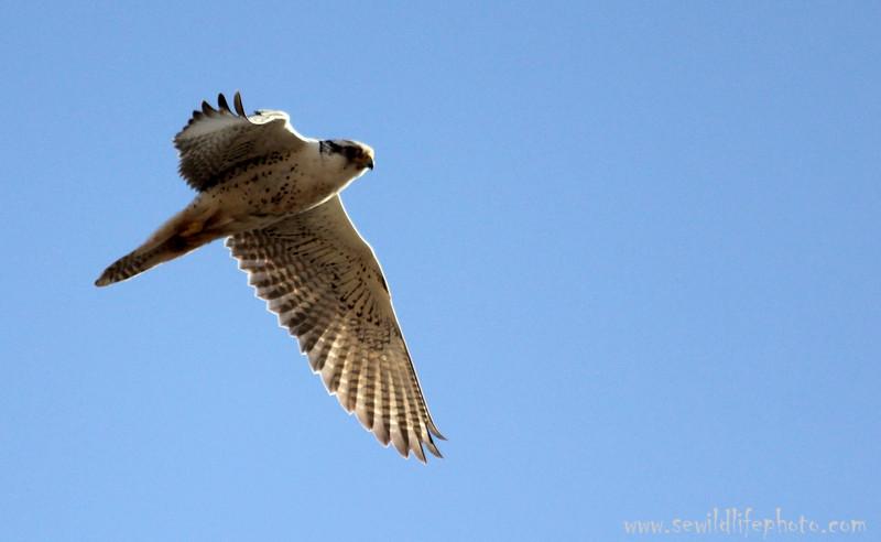 Saker Falcon.  Ikh Nart Nature Reserve, Mongolia.
