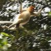 Proboscis nosed monkey in flight.  Bako National Park, Borneo, Malaysia.