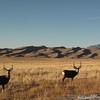 Mule Deer.  Great Sand Dunes National Park, CO.