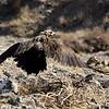 Cinereous Vulture.   Ikh Nart Nature Reserve, Mongolia.