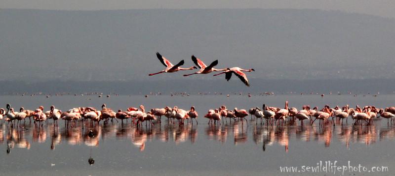 Flamingos. Lake Nakuru, Kenya.
