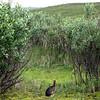Arctic Hare.  Denali National Park, AK.