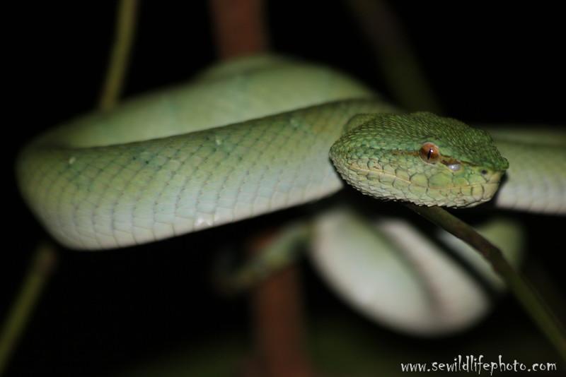 Wagler's viper.  Bako National Park, Borneo, Malaysia.
