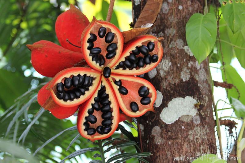 Fig flower in fruit. Sandakan, Borneo, Malaysia.