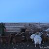 Mongolian herder.  Airag, Mongolia.