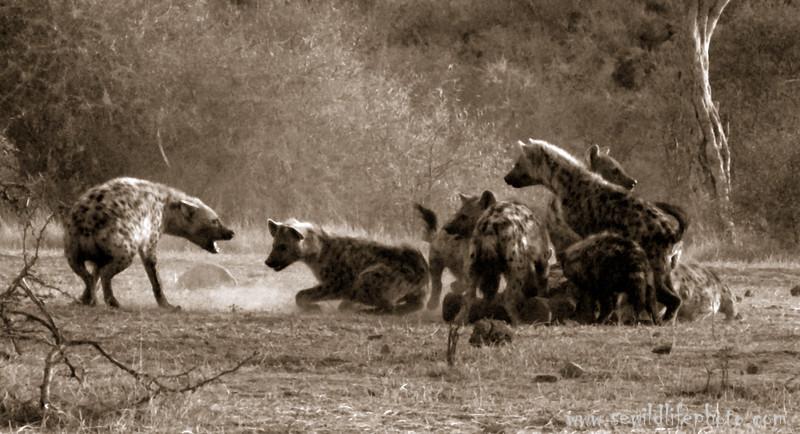 Spotted hyena fight. Kenya.