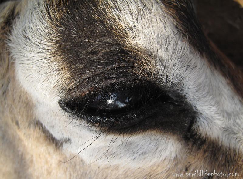 Grant's Gazelle.  Laikipia, Kenya