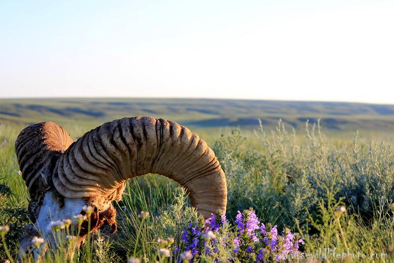 Argali skull. Ikh Nart Nature Reserve, Mongolia.