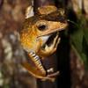 Tree Frog,   Danum Valley, Borneo, Malaysia.