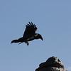 Raven. Ikh Nart Nature Reserve, Mongolia.