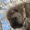 Porcupine.  Chaco Canyon, AZ.