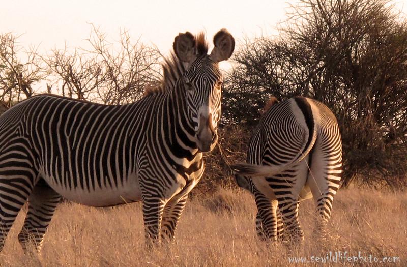 Grevy's Zebra. Laikipia, Kenya.