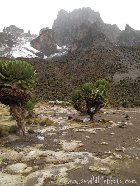 Mount Kenya flora.