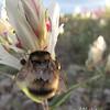 Arctic Bumblebee. Arctic National Wildlife Refuge, AK.