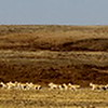 White Gazelle.  Ikh Nart Nature Reserve, Mongolia.