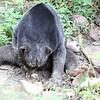 Sun bear eating durian fruit.  Sun Bear Conservation Center, Malaysia.