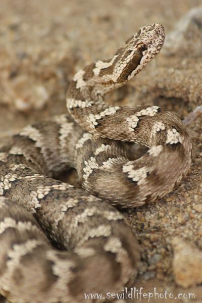 Central Asian Viper.   Ikh Nart Nature Reserve, Mongolia.