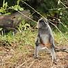 Silver langur / Silver-leaf Monkey.  Bako National Park, Borneo, Malaysia.