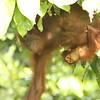 Orangutang mother and baby.  Danum Valley, Borneo, Malaysia.