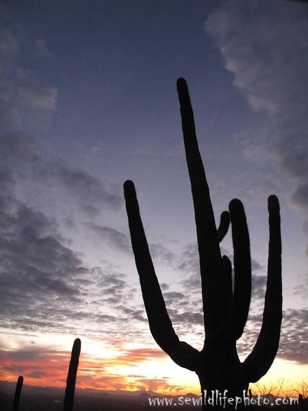 Saguaro. Catalina, AZ.