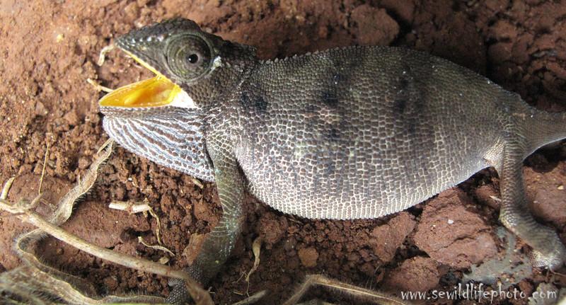 Chameleon, Mount Kenya.