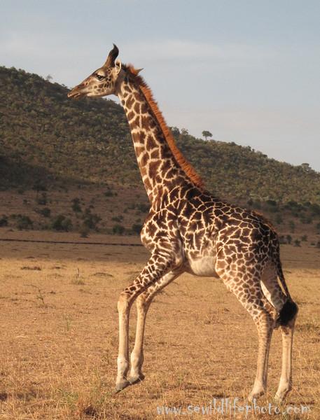 Masai Giraffe.  Masai Mara, Kenya.