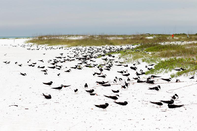 Black Skimmer nesting colony (estimated 800 birds)  Lido Beach