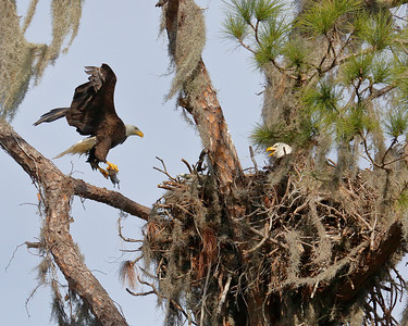 Eagles Nests