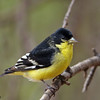 Lesser Goldfinch, Davis Mtns SP. 02/14/2007.
