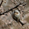 Bushtit, Davis Mtns SP, 02/04/2017. First time I've been able to obtain a decent image of this little bird. They would come in flocks of 6-8 and attack the suet log.